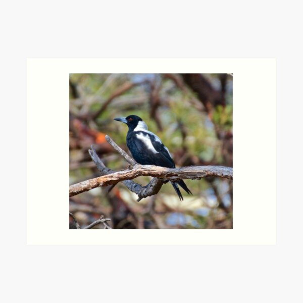 MAGPIE ~ Australian Magpie VWS5ZSLG by David Irwin Art Print