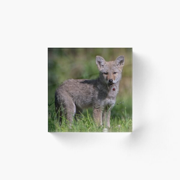 Coyote Pup with a Cherry Acrylic Block