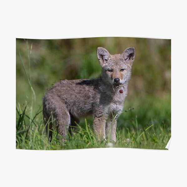 Coyote Pup with a Cherry Poster