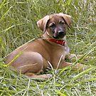 German Shepherd Puppy by Elizabeth  Lilja