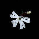 Small White Flower by Elizabeth  Lilja