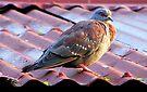 Speckled Pigeon/ Kransduif by Elizabeth Kendall