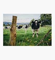 Cow Herd Photographic Print