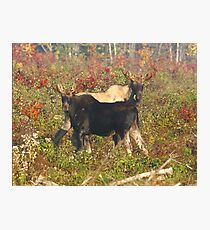 Maine Bull Moose Photographic Print