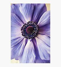 Violet Anemone Photographic Print
