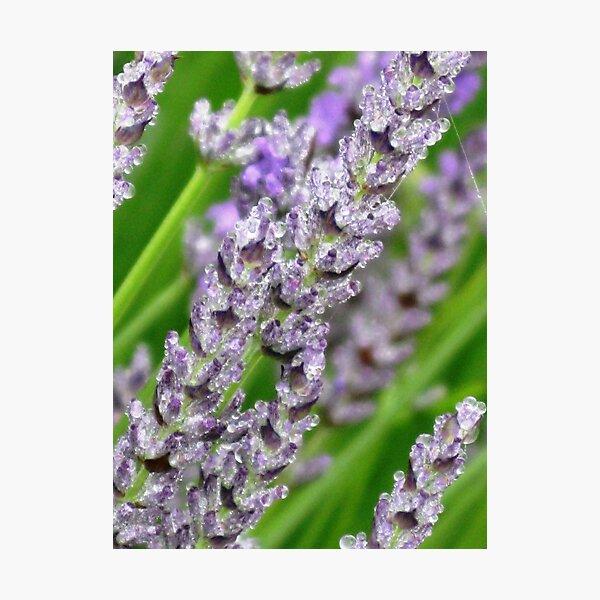 Lavender Jewels Photographic Print