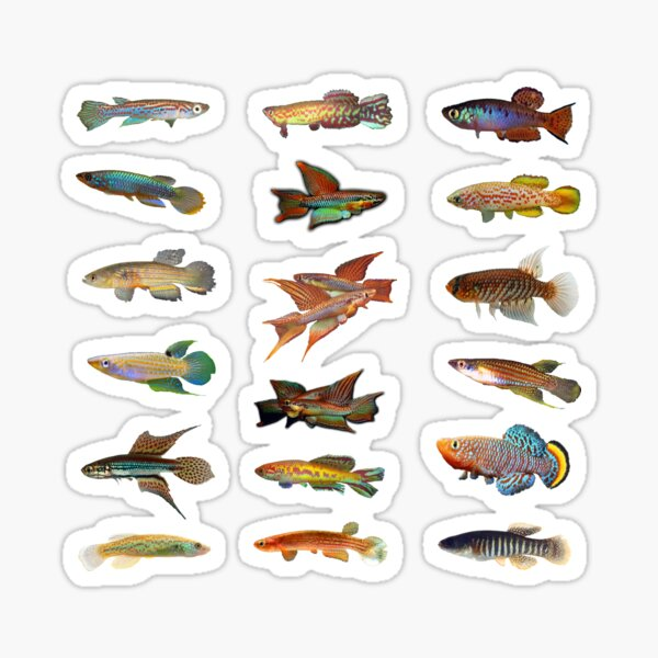 Multiple Killifish Pattern - rachovii, bitaeniatum, and more Sticker