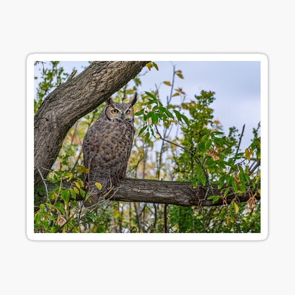 Great Horned Owl Pose Sticker