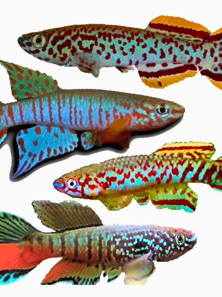4 African Killifish by killies