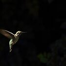 Hummingbird In Flight by DARRIN ALDRIDGE