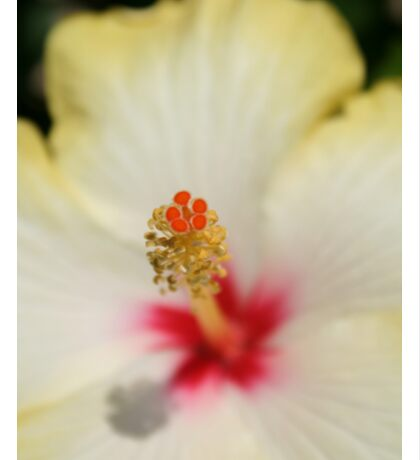 Close Up of Stamen And Pollen Yellow Hibiscus Sticker