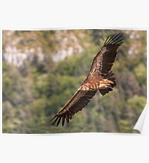Griffon Vulture in flight Poster