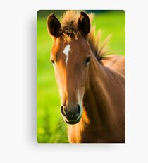 Foal in evening light Canvas Print