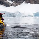 Minke whale in Channel, Antarctica by Braedene