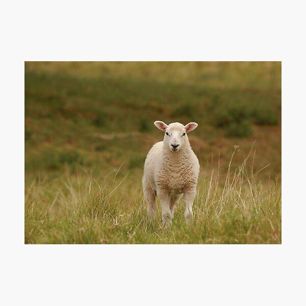 Spring lambs  Photographic Print