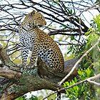 Kopje Leopard 1 by Okavanga