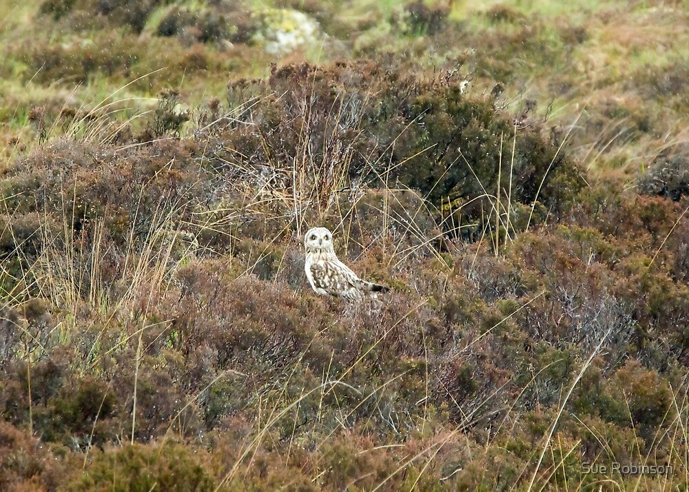 Short-eared Owl by Sue Robinson