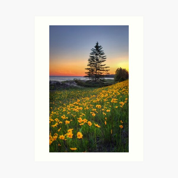 Sand Coreopsis at sunset in UP Michigan Art Print
