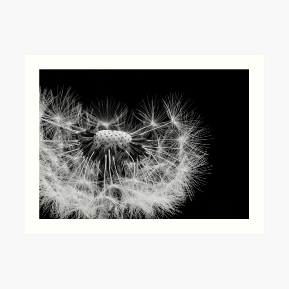 Photograph of a partially blown Dandelion Clock Art Print