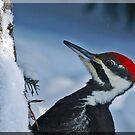 Pileated Woodpecker Close up!  by Diane Blastorah