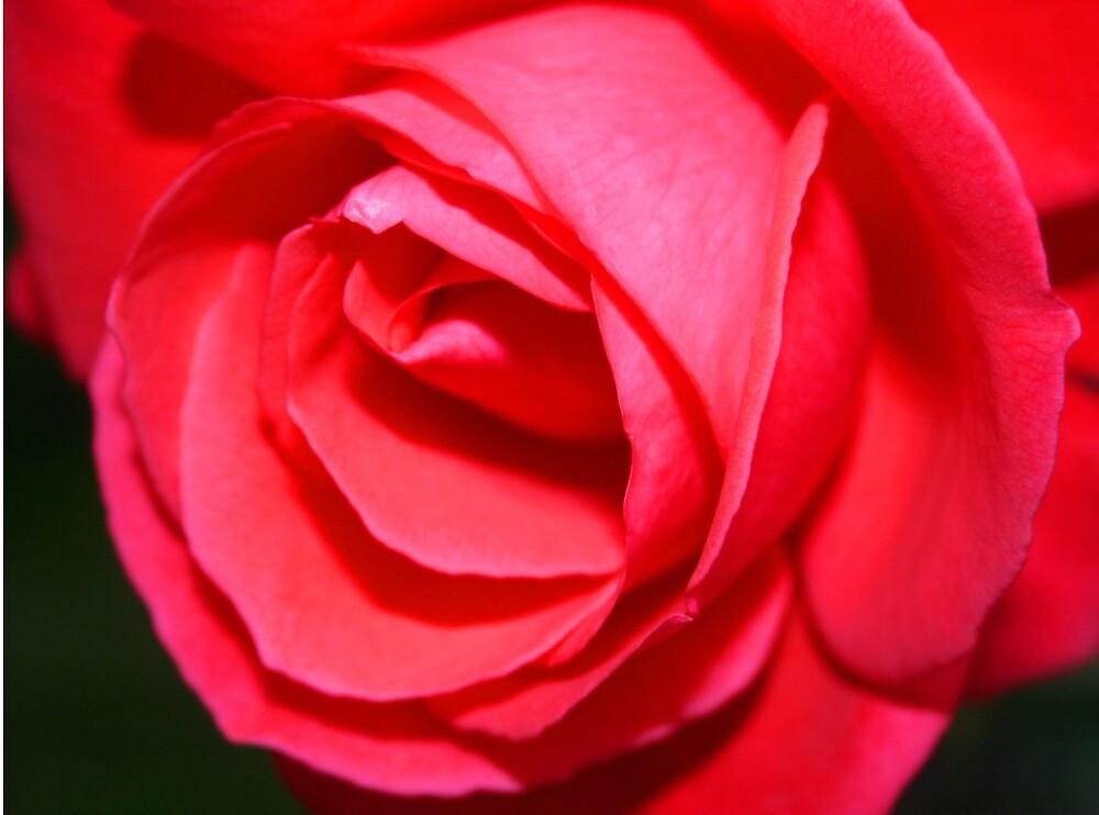 Last Rose by RedHillDigital