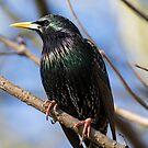 Starling by Ellesscee