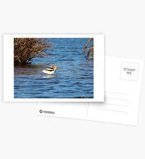 American Avocet Postcards