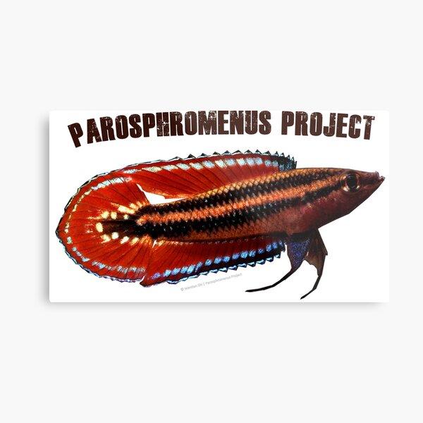 Parosphromenus quindecim Metal Print