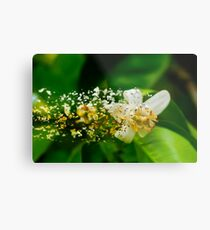 Digitally manipulated Orange blossom on a tree in a garden  Metal Print