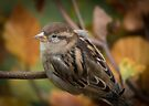 An autumnal female House Sparrow by Sara Sadler