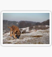 Border Terrier in the Snow Sticker