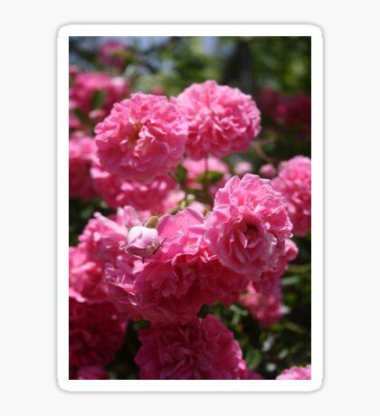 Wild Roses With Garden Background Sticker
