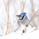 Blue Jay - Algonquin Park by Jim Cumming