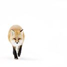 Fox on the move - Algonquin Park by Jim Cumming