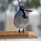 Blue Jay Peeking at Me by Diane Blastorah