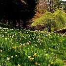 Daffodil Hill by Barbara  Brown