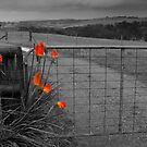 Red Hot Pokers at the Farm Gate by dcarphoto