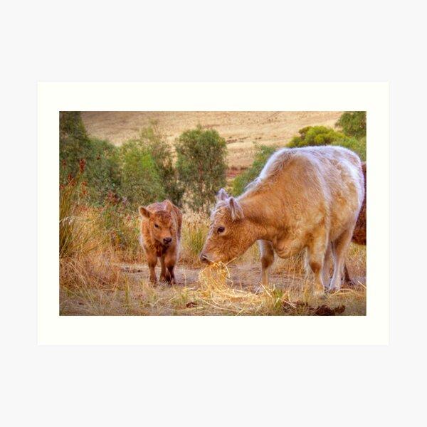 Mother and Daughter, Galloway Cows, Kanmantoo, Adelaide Hllls, SA Art Print