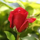 Beautiful Red Rose Bud by taiche