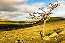Hethpool Tree by David Lewins