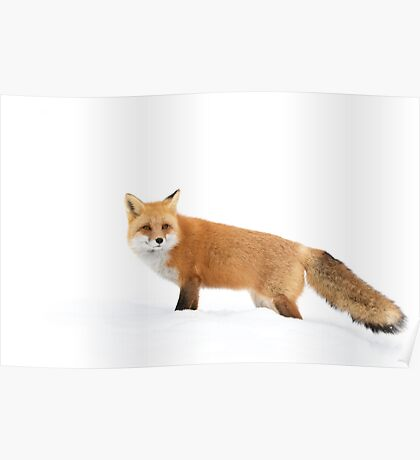 Red fox in snow - Algonquin Park Poster