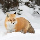Red Fox - Algonquin Park by Jim Cumming