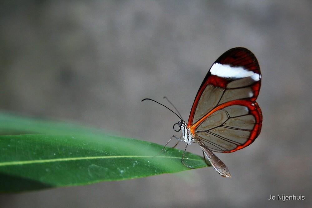Glasswinged Butterfly by Jo Nijenhuis