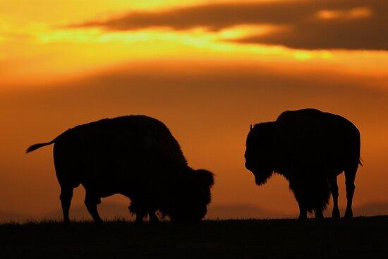 Bison Sunset by WorldDesign