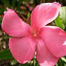 Pink Oleander by Shulie1