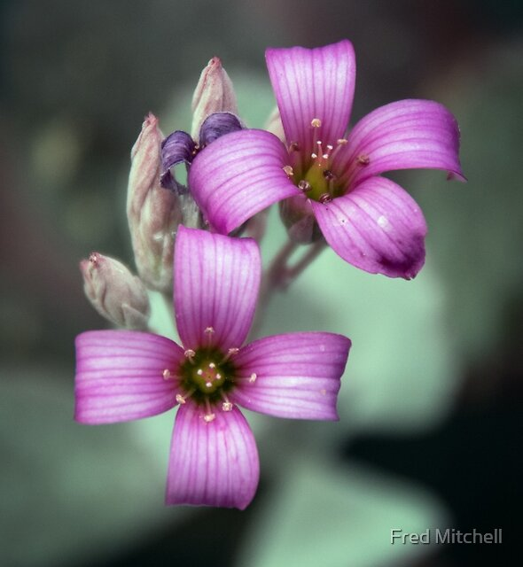 Pale purple striped 4 petal flower Leith Park Victoria 20151114 0700   by Fred Mitchell