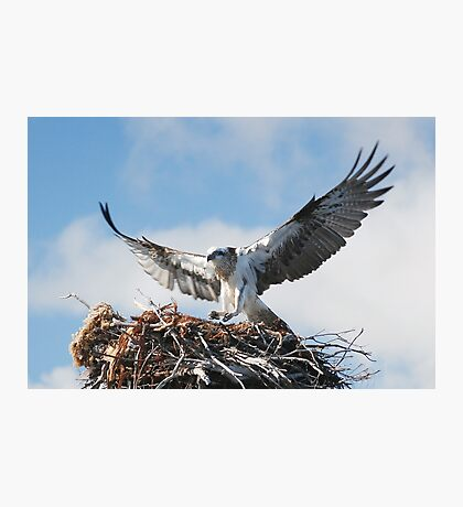 Returning to the nest - Osprey Photographic Print