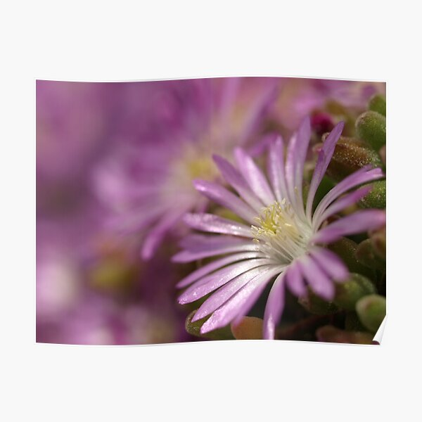 Pink succulent 'daisy' flowers Poster