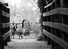Greylag geese walking past by Sara Sadler