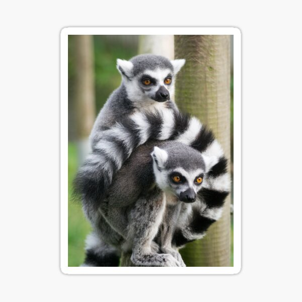 Two ring-tailed Lemurs  Sticker